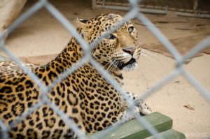 Leopard at Wildlife Waystation