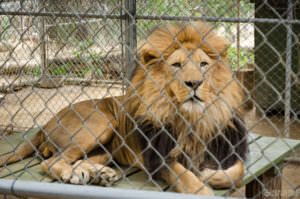Lion at Wildlife Waystation